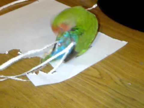 Попугай-модник