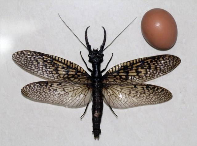 В Китае найдено самое большое водное насекомое