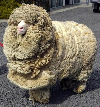 Не стриженная овца