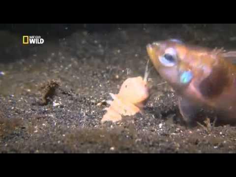 Знакомьтесь, австралийский пурпурный червь