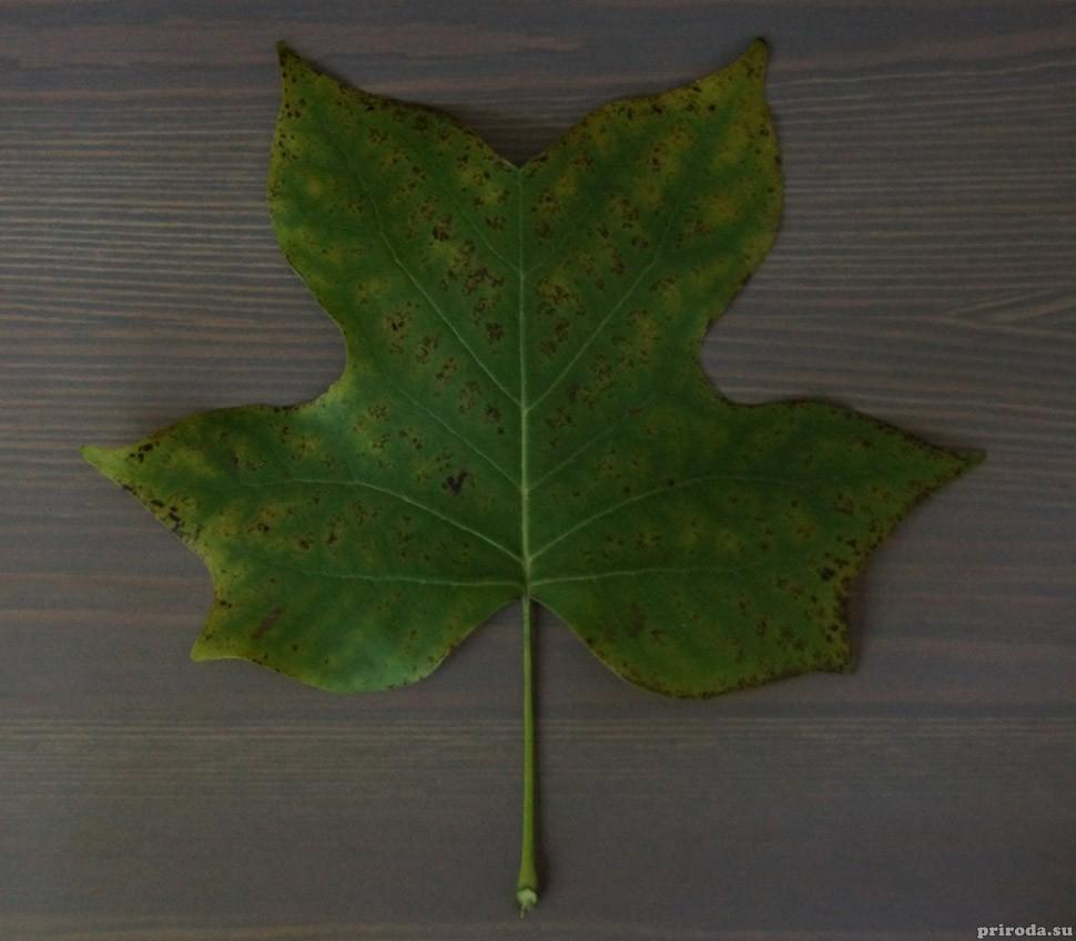 Лист лириодендрона
