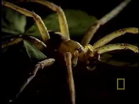 Пауки поедающие лягушек и ящериц