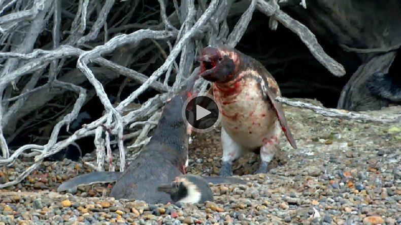 Бой между самцами пингвинов