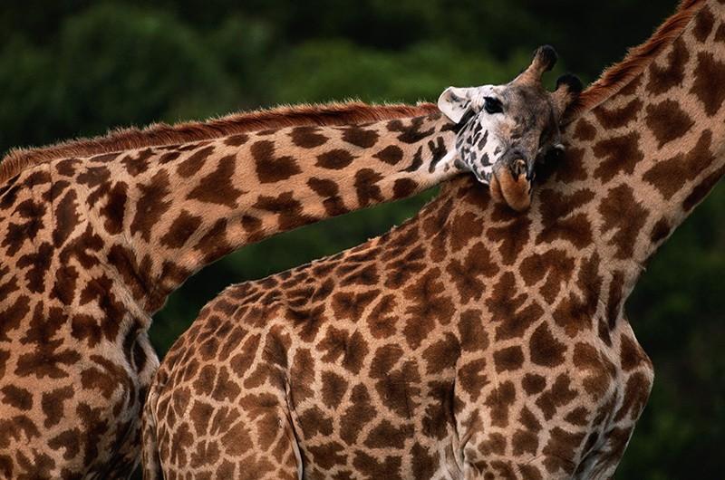C 1985 года численность жирафов на планете уменьшилась на треть